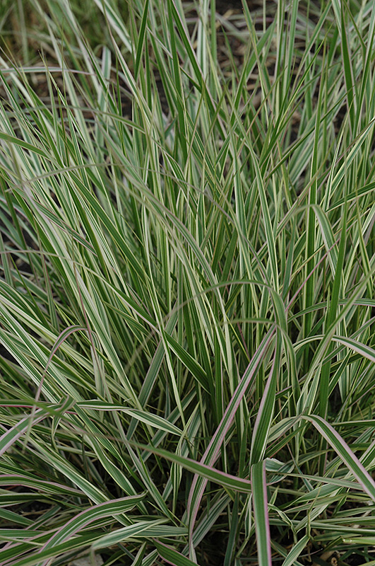 Variegated Reed Grass (Calamagrostis x acutiflora 'Overdam') at Meadow Acres Garden Centre