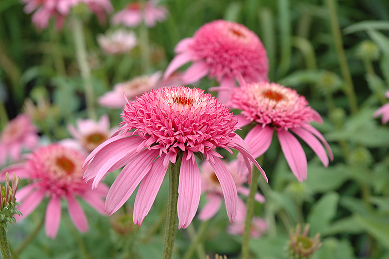 Cone-fections Pink Double Delight Coneflower (Echinacea purpurea 'Pink Double Delight') at Meadow Acres Garden Centre