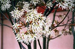 Ballerina Serviceberry (Amelanchier x grandiflora 'Ballerina') at Meadow Acres Garden Centre