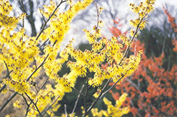 Arnold Promise Witchhazel (Hamamelis x intermedia 'Arnold Promise') at Meadow Acres Garden Centre