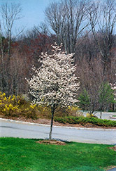Cumulus Serviceberry (Amelanchier laevis 'Cumulus') at Meadow Acres Garden Centre