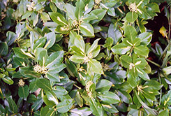 Sunspot Wintercreeper (Euonymus fortunei 'Sunspot') at Meadow Acres Garden Centre