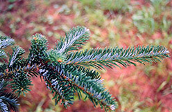 Fraser Fir (Abies fraseri) at Meadow Acres Garden Centre