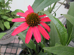 Glowing Dream™ Coneflower (Echinacea 'Glowing Dream') at Meadow Acres Garden Centre