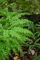 Northern Maidenhair Fern (Adiantum pedatum) at Meadow Acres Garden Centre