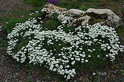 Candytuft (Iberis sempervirens) at Meadow Acres Garden Centre