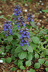 Caitlin's Giant Bugleweed (Ajuga reptans 'Caitlin's Giant') at Meadow Acres Garden Centre