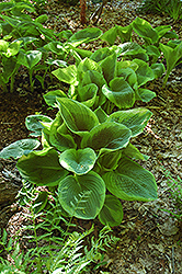 Frances Williams Hosta (Hosta 'Frances Williams') at Meadow Acres Garden Centre