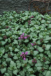 Red Nancy Spotted Dead Nettle (Lamium maculatum 'Red Nancy') at Meadow Acres Garden Centre