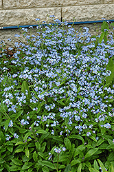 Forget-Me-Not (Myosotis sylvatica) at Meadow Acres Garden Centre