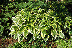 Gold-Variegated Mountain Hosta (Hosta montana 'Aureomarginata') at Meadow Acres Garden Centre