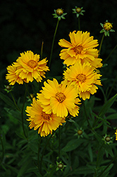 Early Sunrise Tickseed (Coreopsis 'Early Sunrise') at Meadow Acres Garden Centre