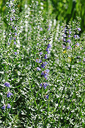 Hyssop (Hyssopus officinalis) at Meadow Acres Garden Centre