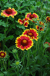 Goblin Blanket Flower (Gaillardia x grandiflora 'Goblin') at Meadow Acres Garden Centre