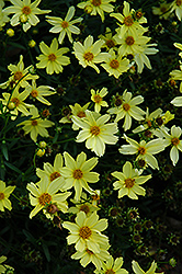 Creme Brulee Tickseed (Coreopsis 'Creme Brulee') at Meadow Acres Garden Centre