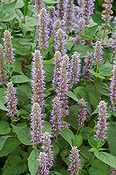 Blue Fortune Anise Hyssop (Agastache 'Blue Fortune') at Meadow Acres Garden Centre