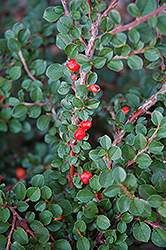 Hesse Cotoneaster (Cotoneaster 'Hessei') at Meadow Acres Garden Centre