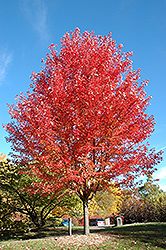 Autumn Blaze Maple (Acer x freemanii 'Jeffersred') at Meadow Acres Garden Centre