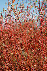 Cardinal Dogwood (Cornus sericea 'Cardinal') at Meadow Acres Garden Centre