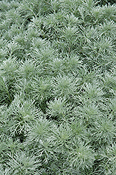 Silver Mound Artemesia (Artemisia schmidtiana 'Silver Mound') at Meadow Acres Garden Centre