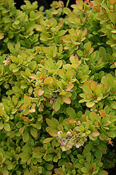 Sunsation Japanese Barberry (Berberis thunbergii 'Sunsation') at Meadow Acres Garden Centre