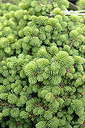 Little Gem Spruce (Picea abies 'Little Gem') at Meadow Acres Garden Centre