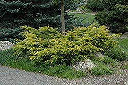 Old Gold Juniper (Juniperus x media 'Old Gold') at Meadow Acres Garden Centre