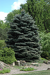 Fat Albert Blue Spruce (Picea pungens 'Fat Albert') at Meadow Acres Garden Centre