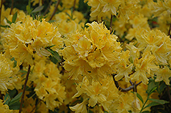 Lemon Lights Azalea (Rhododendron 'Lemon Lights') at Meadow Acres Garden Centre