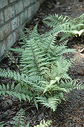 Ghost Fern (Athyrium 'Ghost') at Meadow Acres Garden Centre