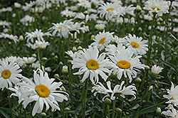 Shasta Daisy (Leucanthemum x superbum) at Meadow Acres Garden Centre