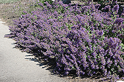 Walker's Low Catmint (Nepeta x faassenii 'Walker's Low') at Meadow Acres Garden Centre