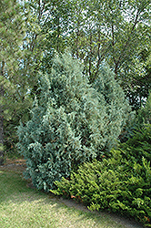 Wichita Blue Juniper (Juniperus scopulorum 'Wichita Blue') at Meadow Acres Garden Centre