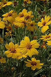 Tequila Sunrise Tickseed (Coreopsis 'Tequila Sunrise') at Meadow Acres Garden Centre
