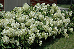 Annabelle Hydrangea (Hydrangea arborescens 'Annabelle') at Meadow Acres Garden Centre