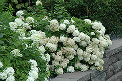 Pee Gee Hydrangea (Hydrangea paniculata 'Grandiflora') at Meadow Acres Garden Centre