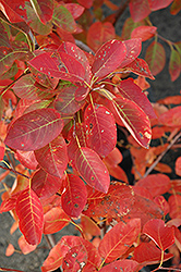 Autumn Brilliance Serviceberry (Amelanchier x grandiflora 'Autumn Brilliance') at Meadow Acres Garden Centre