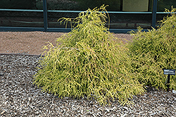 Sungold Falsecypress (Chamaecyparis pisifera 'Sungold') at Meadow Acres Garden Centre
