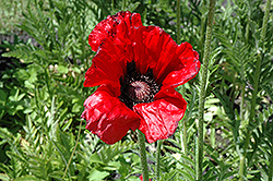 Beauty of Livermere Poppy (Papaver orientale 'Beauty of Livermere') at Meadow Acres Garden Centre