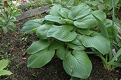 Fried Green Tomatoes Hosta (Hosta 'Fried Green Tomatoes') at Meadow Acres Garden Centre