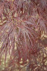 Garnet Cutleaf Japanese Maple (Acer palmatum 'Garnet') at Meadow Acres Garden Centre