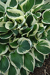 Patriot Hosta (Hosta 'Patriot') at Meadow Acres Garden Centre