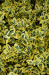 Emerald 'n' Gold Wintercreeper (Euonymus fortunei 'Emerald 'n' Gold') at Meadow Acres Garden Centre