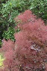 Velvet Cloak Purple Smokebush (Cotinus coggygria 'Velvet Cloak') at Meadow Acres Garden Centre
