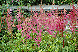 Visions in Pink Chinese Astilbe (Astilbe chinensis 'Visions in Pink') at Meadow Acres Garden Centre
