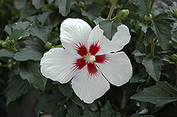 Lil' Kim® Rose of Sharon (Hibiscus syriacus 'Antong Two') at Meadow Acres Garden Centre