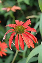 Tomato Soup Coneflower (Echinacea 'Tomato Soup') at Meadow Acres Garden Centre