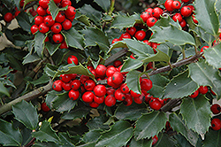 Berri-Magic Meserve Holly (Ilex x meserveae 'Berri-Magic') at Meadow Acres Garden Centre