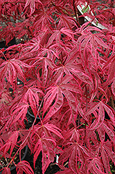 Shirazz Japanese Maple (Acer palmatum 'Gwen's Rose Delight') at Meadow Acres Garden Centre