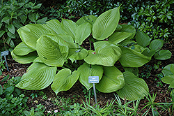 Sum and Substance Hosta (Hosta 'Sum and Substance') at Meadow Acres Garden Centre